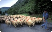 Fontaines d'Escot - The Transhumance.