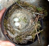 Fontaines d'Escot - Wagtail's spring nest.