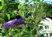Fontaines d'Escot - Butterfly, buddleia and château.