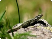 Fontaines d'Escot - Lizard of the rocks.