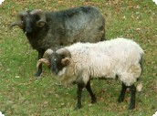 Fontaines d'Escot - Pyrenean rams.