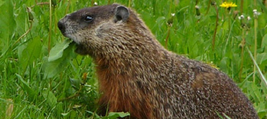 A marmot in the Pyrenees